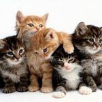 gatti-colore-del-manto
